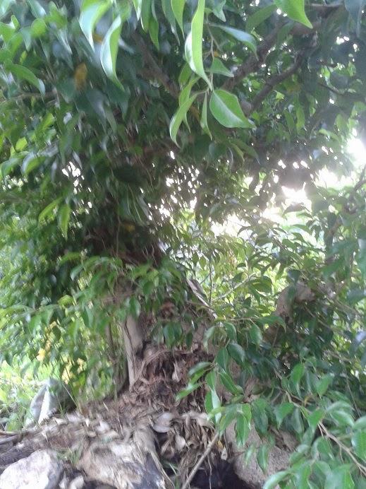 Cay Canh Dep, Cay Canh Dep Cây xanh núi P12 - 3