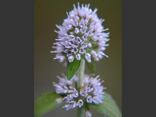 Mints Have Tiny Flowers Like This Water Mint Mentha Aquatica But