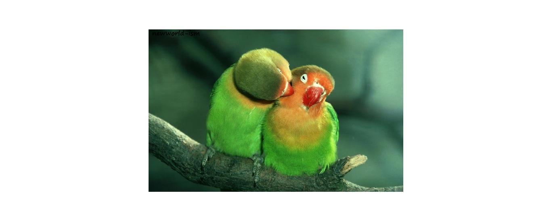 lovebird labet