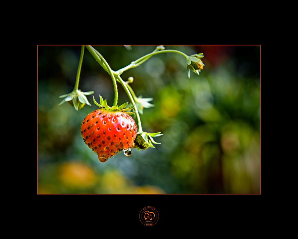 photo de fraise, les hortillonnages Amiens, photos Bernard DOLLET, Nord-Pas-Calais, Béthune Beuvry