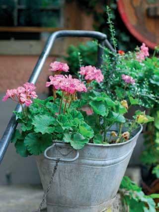 Güzel ve zarif çiçek - ampel Pelargonium 90