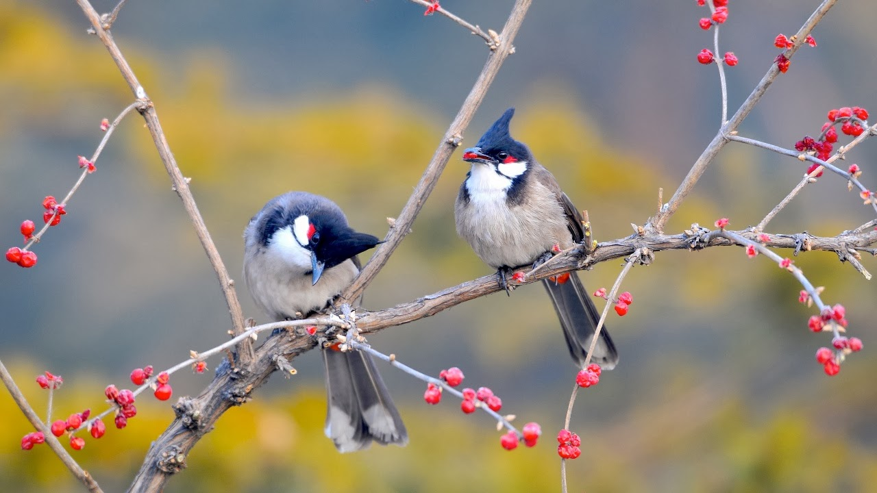 hd Red Whiskered Bulbul Brids