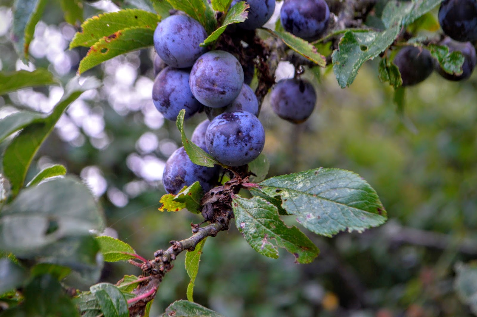 Sloe gin Hazelbeach, Pembrokeshire, Wales, walk, coastal path, beach, country kids