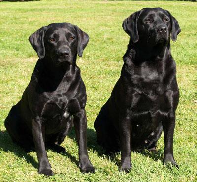 cute dogs pets black lab labrador retriever pictures. Black Bedroom Furniture Sets. Home Design Ideas