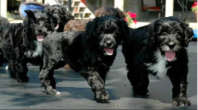 Portuguese-Water-Dog-puppies