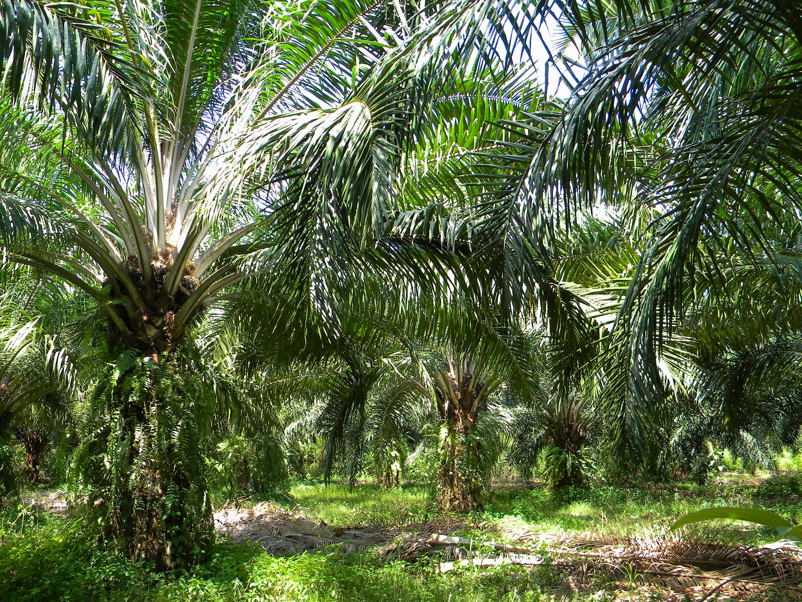 Palm Oil Plantation | 2012 - Surat Thani - The Adventure ...