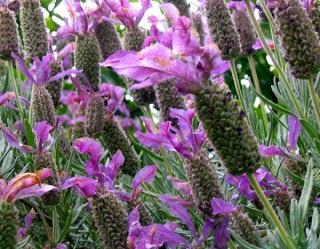 Mengusir nyamuk dengan cara alami, tanaman yang tidak disukai nyamuk