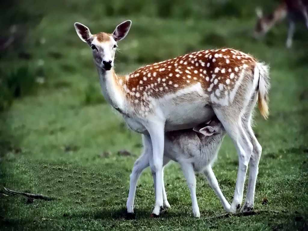 deer_pictures_wallpapers_beautiful_animals_wildlife_forest_green.jpg