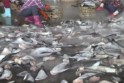 魚翅價格較高,漁業公司為了節省船艙空間、裝載更多魚翅, 便殘忍地活割魚鰭,將剩下的魚體丟回海中,任鯊魚流血致死 或遭其他魚類攻擊痛苦而死。圖片來自:台灣動物社會研究會。