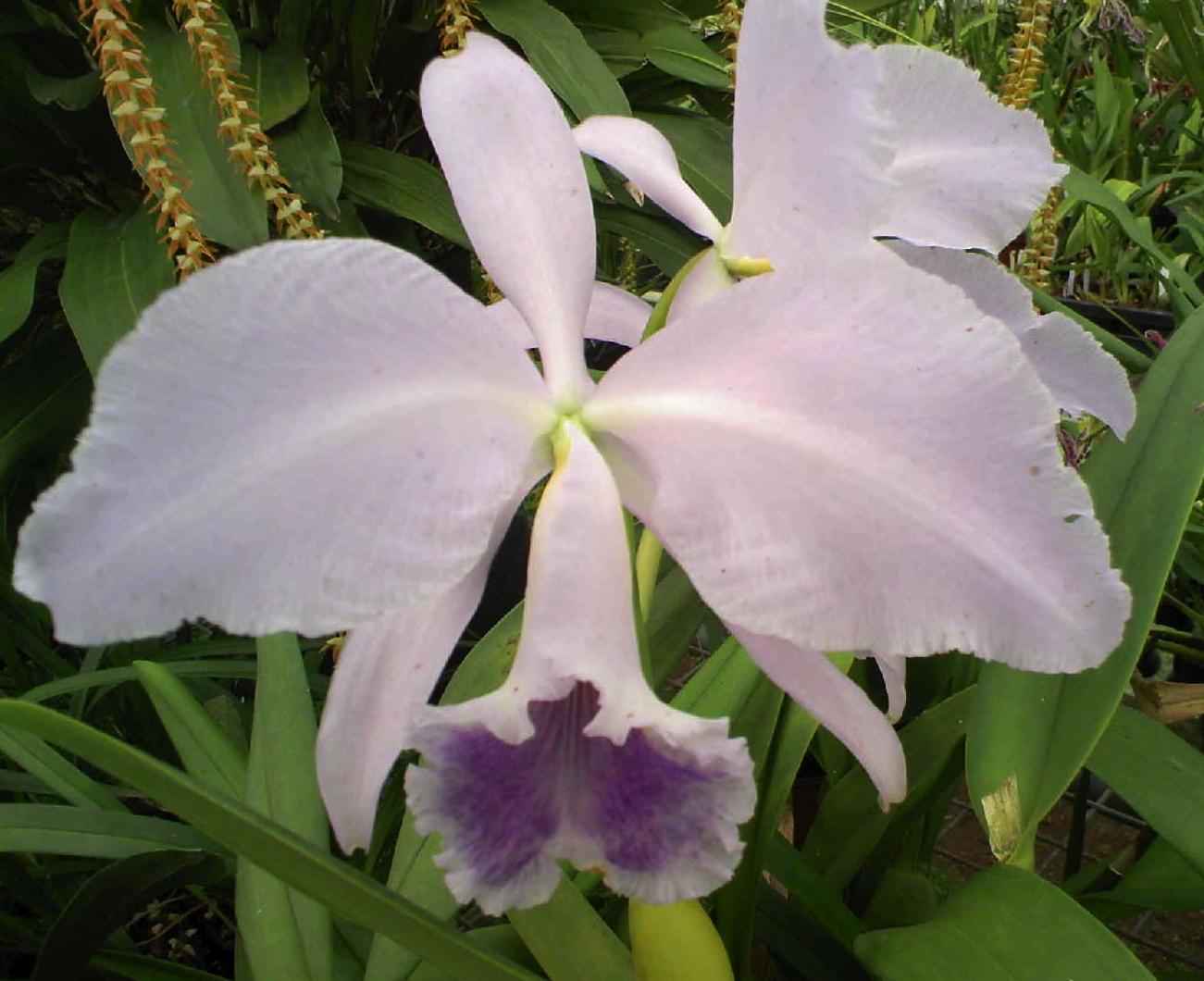 My orchids journal cattleya labiata for Orchidea cattleya
