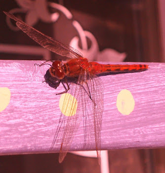 dragonflies on the marshlands ... [click pic]