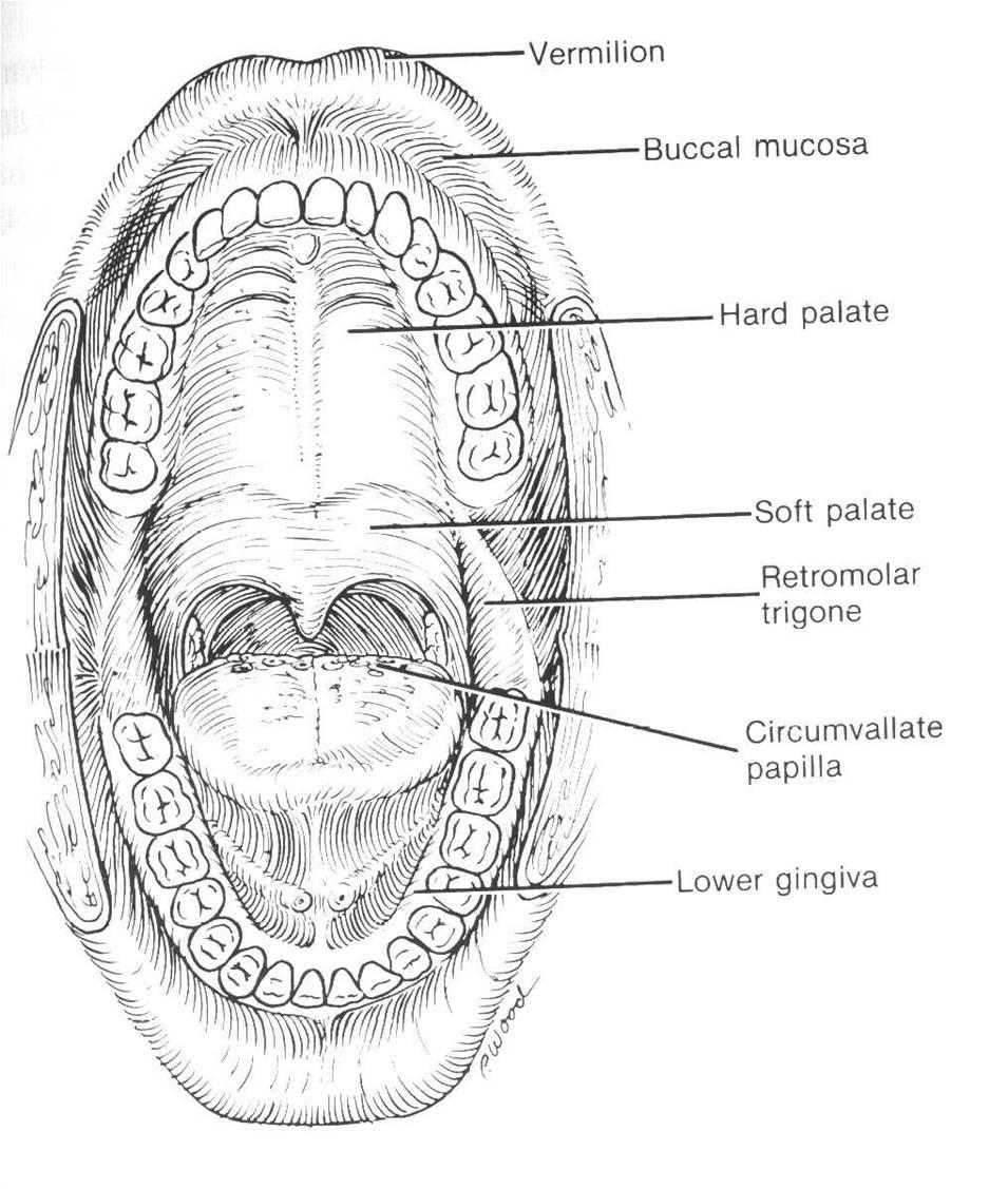 Retromolar Trigone Anatomy 6860506 Togelmayafo