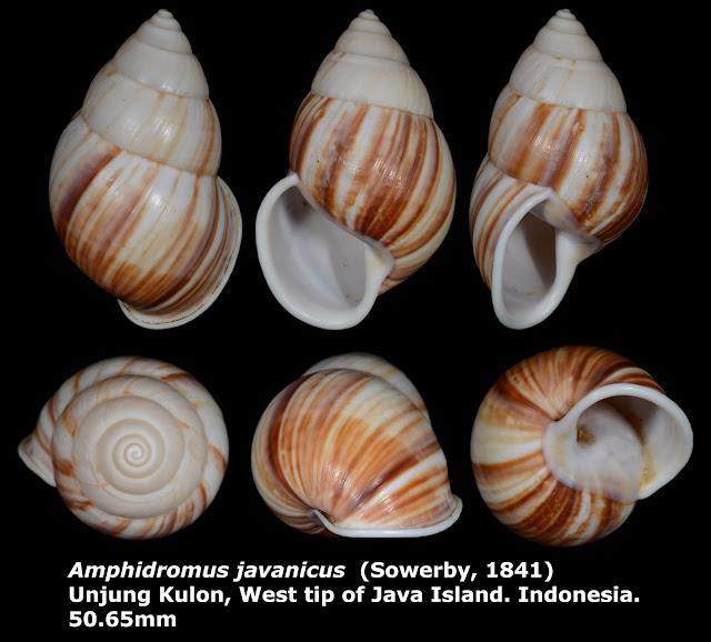 Amphidromus javanicus 50.65mm