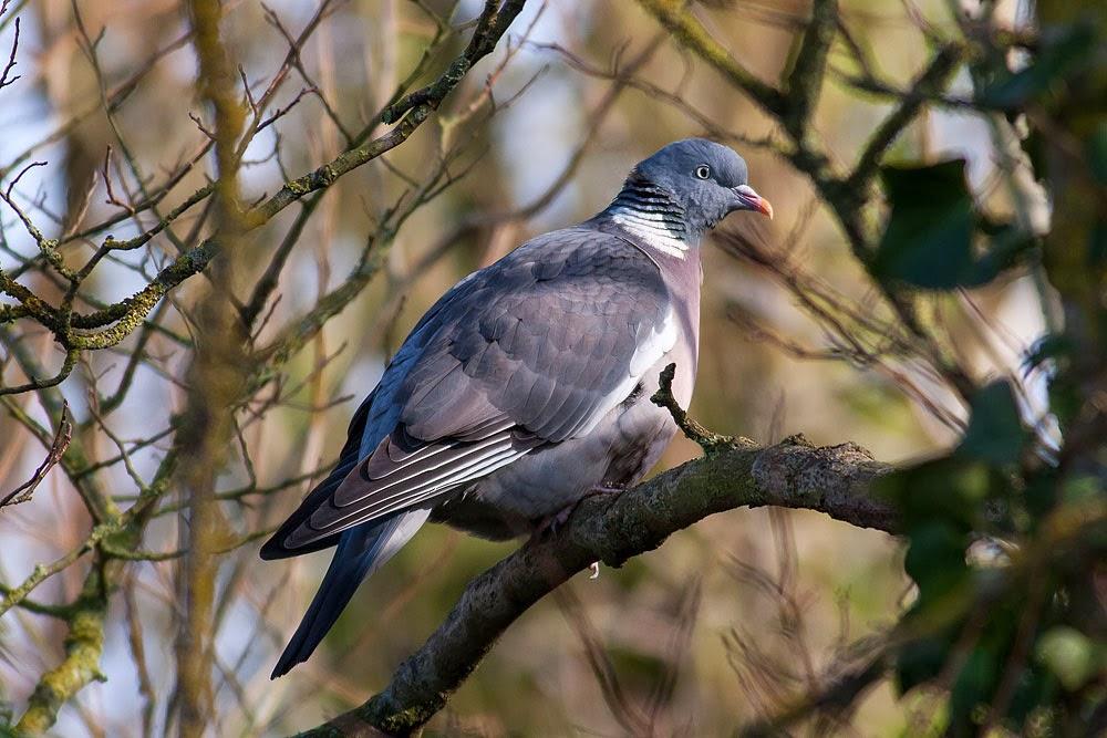 Wood Pigeon, Lodge Lake, Milton Keynes