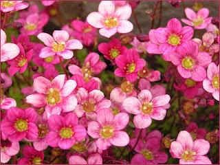 saxifrage, pink saxifrage, saxifrage flowers