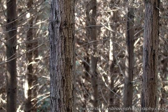 Pinus radiata, a 30-year project photograph