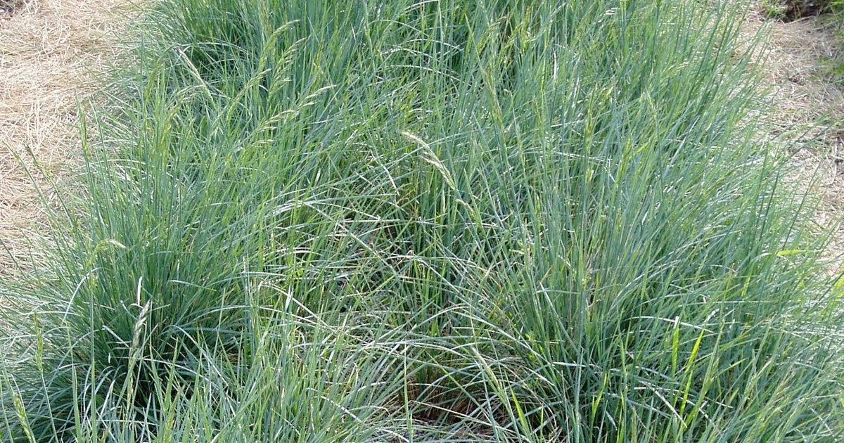 Lovegrass farm busy days at lovegrass farm for Ornamental oat grass varieties
