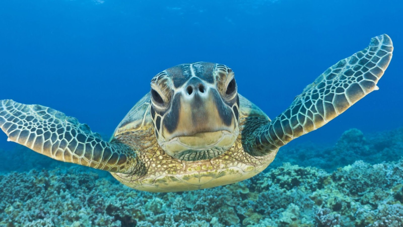 Turtle Swimming HD Wallpapers