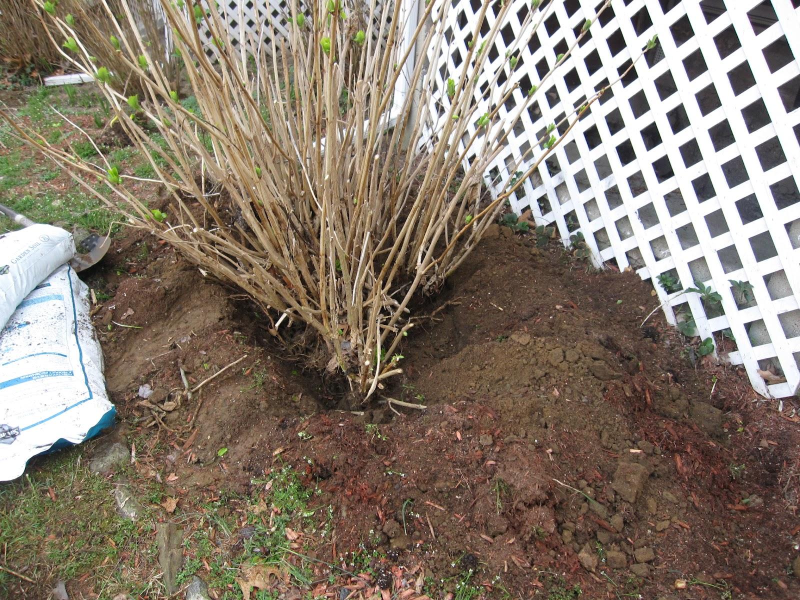 Frank\'s Garden Talk: Transplanting Hydrangeas-(basic shrub ...