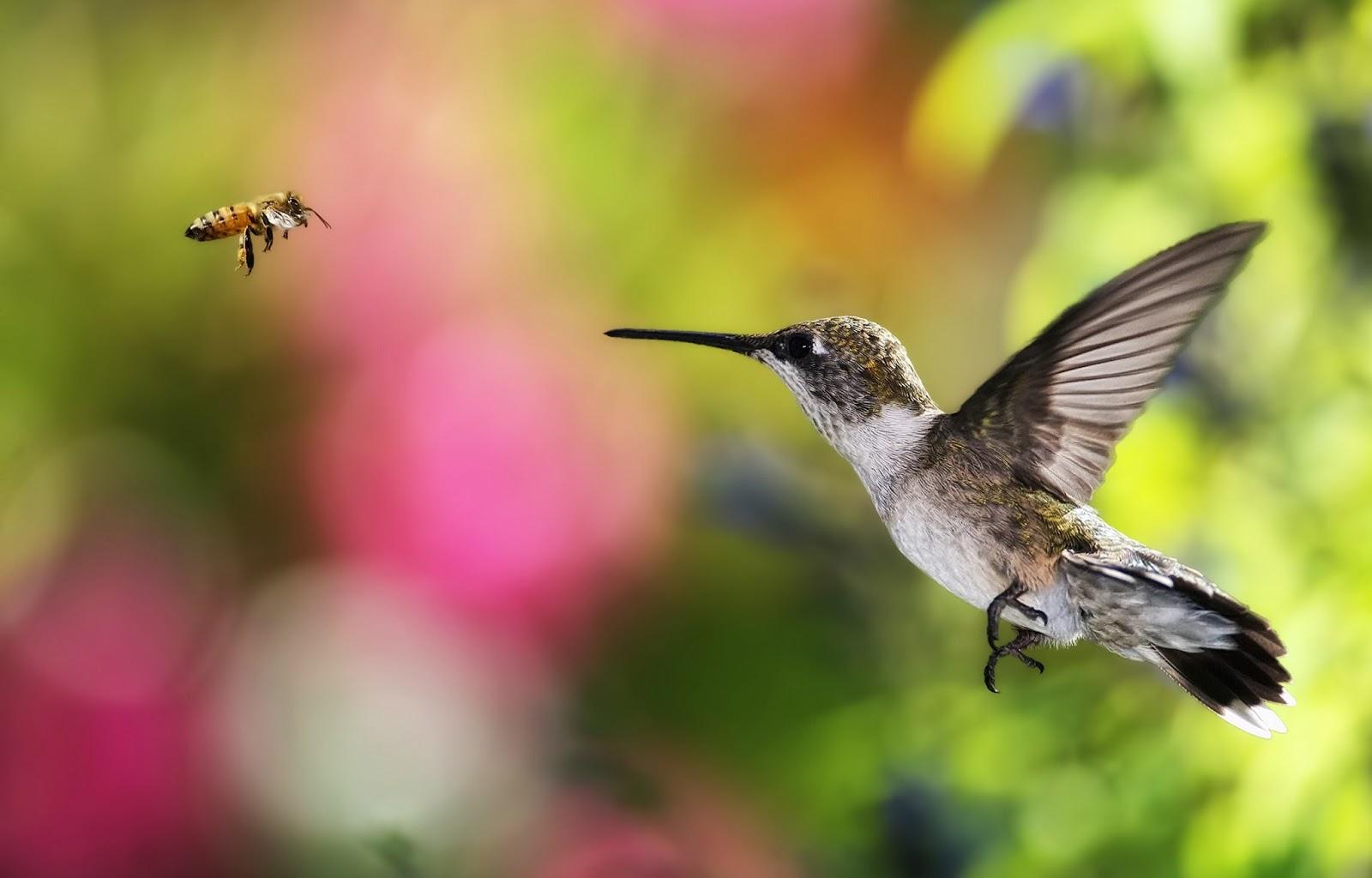 Free Hummingbird Desktop Wallpaper