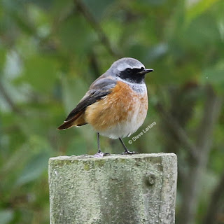 Male Redstart on fence post (Greenham Common)