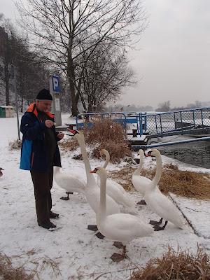 Tyniec, nad Wisłą w Tyńcu, ptactwo wodne, zimowe dokarmianie ptaków, karmienie łabędzi, karmienie kaczek