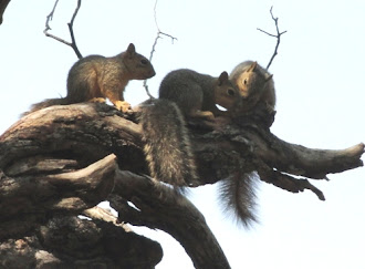 Photograph of Momma and baby squirrels in Marble Falls, Texas.