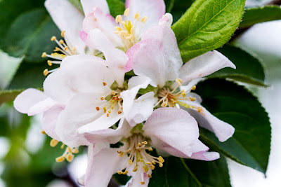 dwarf apple blossom, unknown cultivar