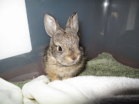 Baby bunny, Mary Cummins, Animal Advocates, wildlife rehabilitation, Los Angeles, Califoria