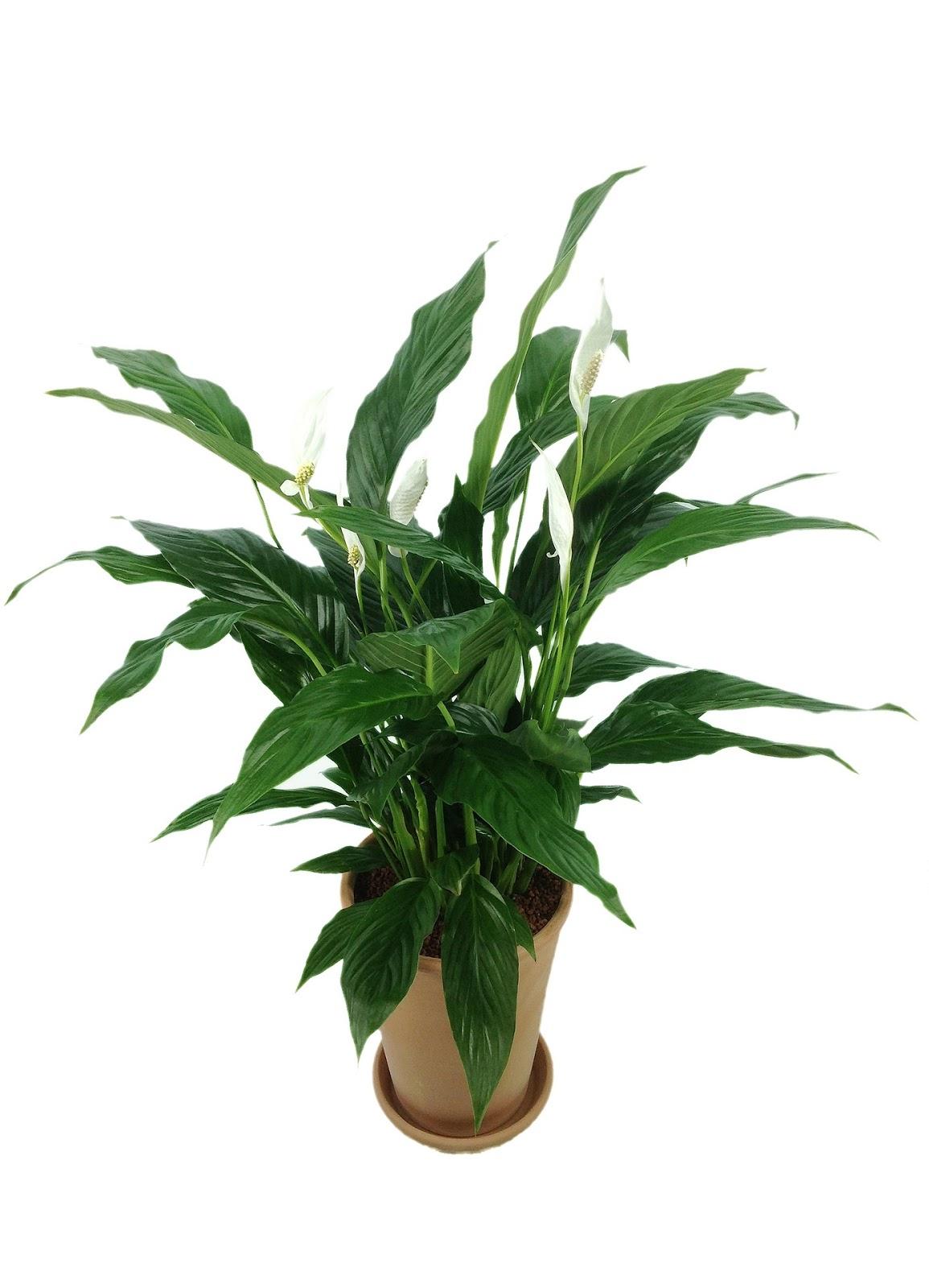 Почему не разворачиваются листья у спатифиллума