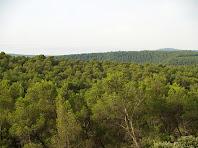 Les pinedes de la Serra de Fontfregona des del Pla del Bosc Negre