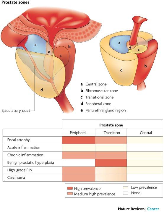 Urología Peruana: Dr. Susaníbar: Cáncer de próstata: anatomía