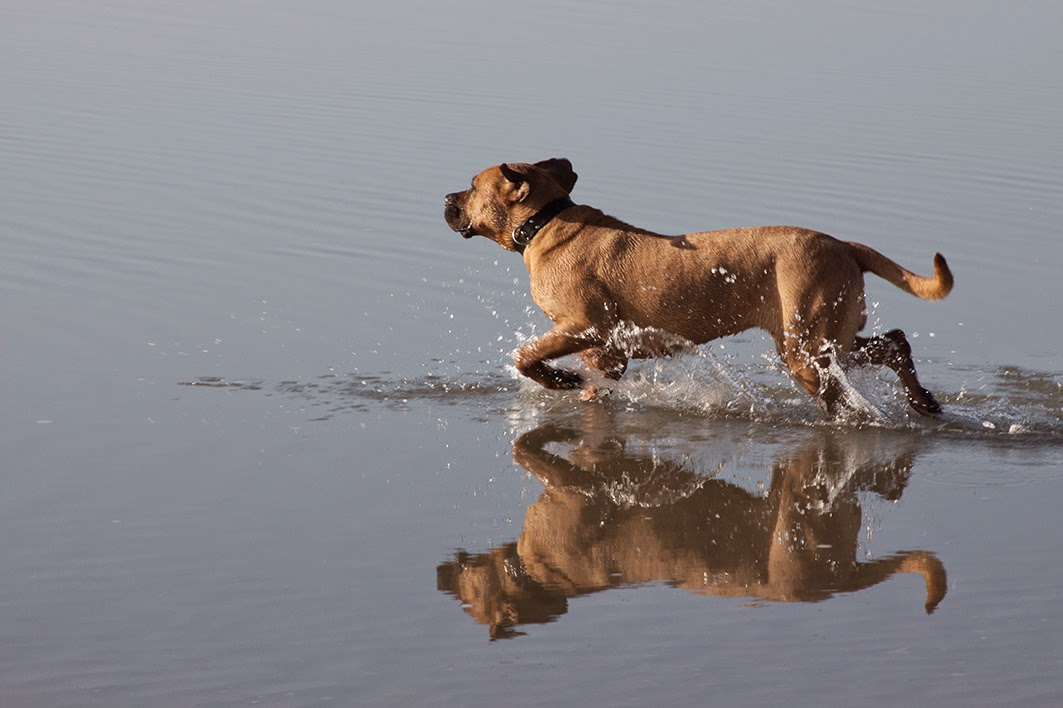 running dog through water