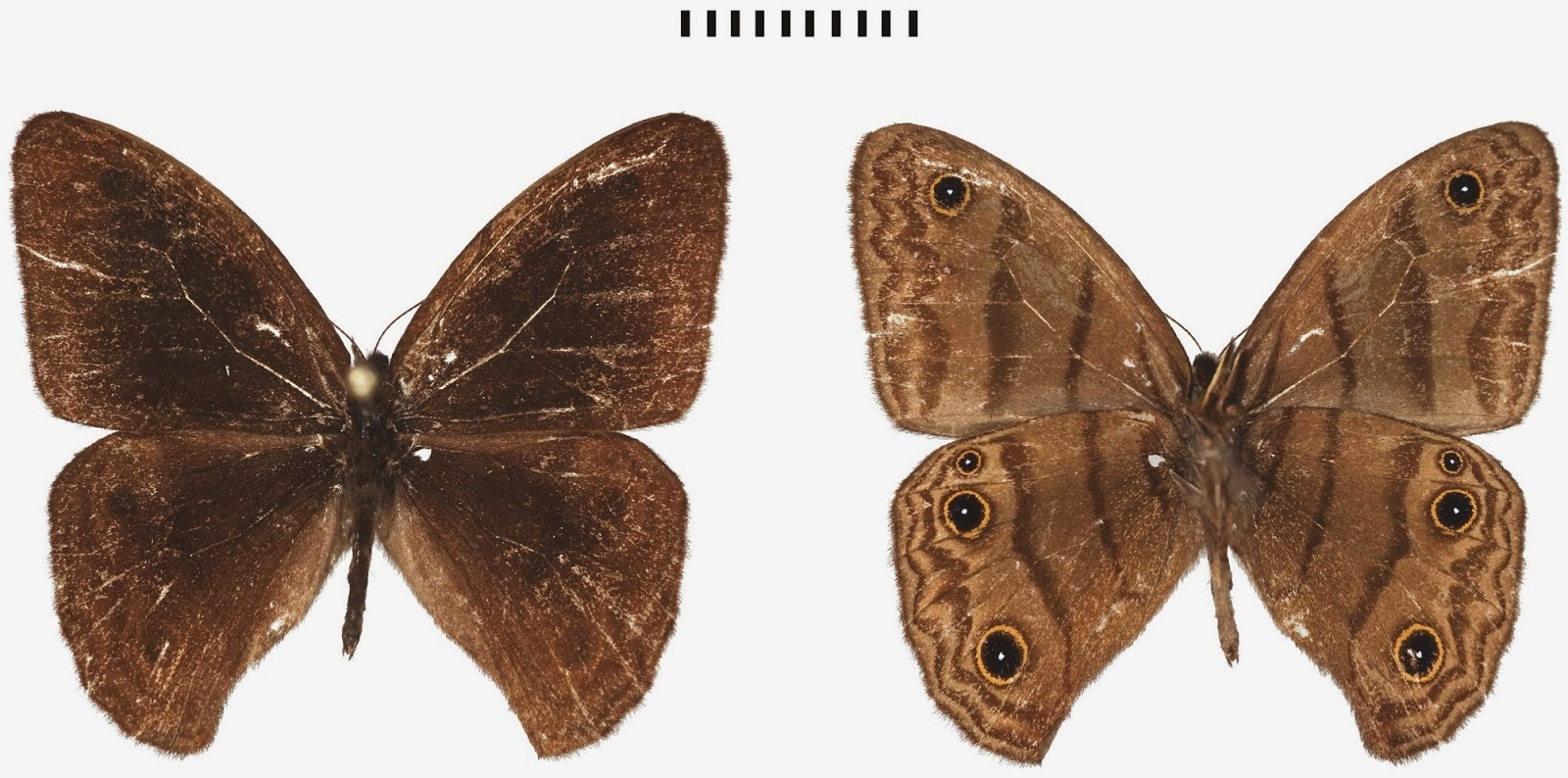 http://sciencythoughts.blogspot.co.uk/2014/11/a-new-species-of-satyrine-butterfly.html