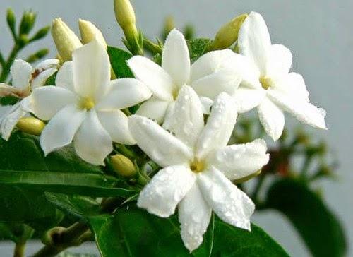 Khasiat Bunga Melati untuk Kesehatan