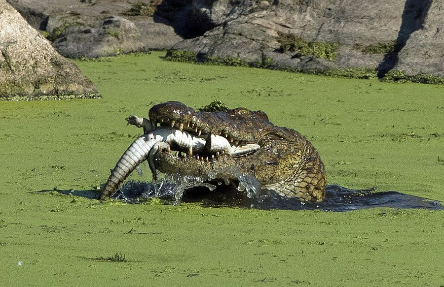 South Africa crocodile devouring cubs bloody shocking scenes