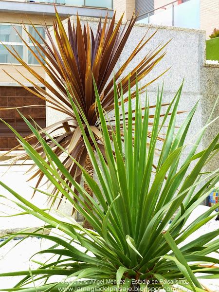 Yucca cuidar de tus plantas es - Yucca elephantipes cuidados ...