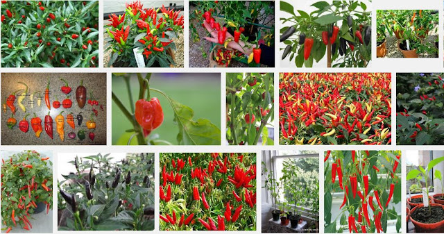 Growing Chilli Peppers