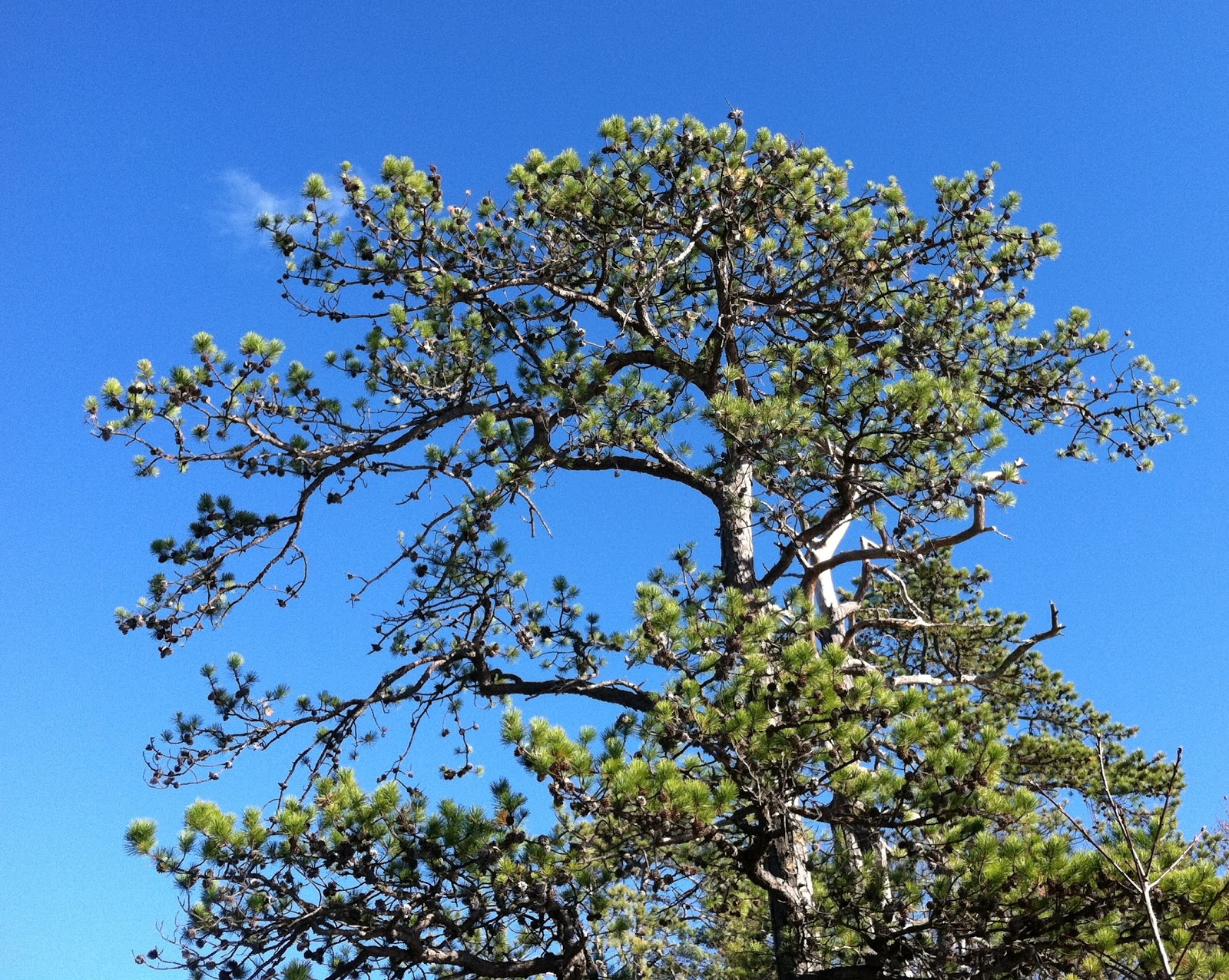 Spicebush Log Pitch Pine Point