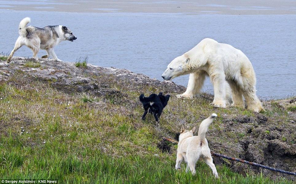 Polar Bear Pets Dog Eat