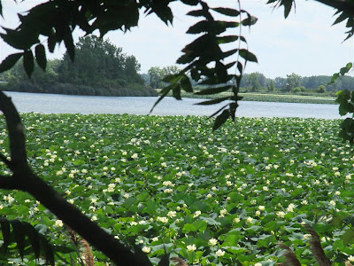 american lotus plants, fields, michigan, ce plant, power plant