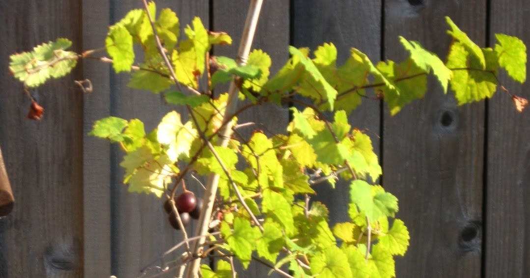 muscadine men As with any alcoholic beverage, the health benefits exist for consuming muscadine wine in moderation 5oz serving of muscadine wine for men.