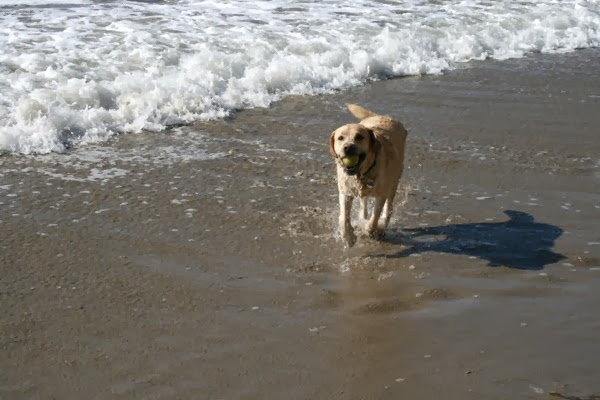labrador playing in the surf