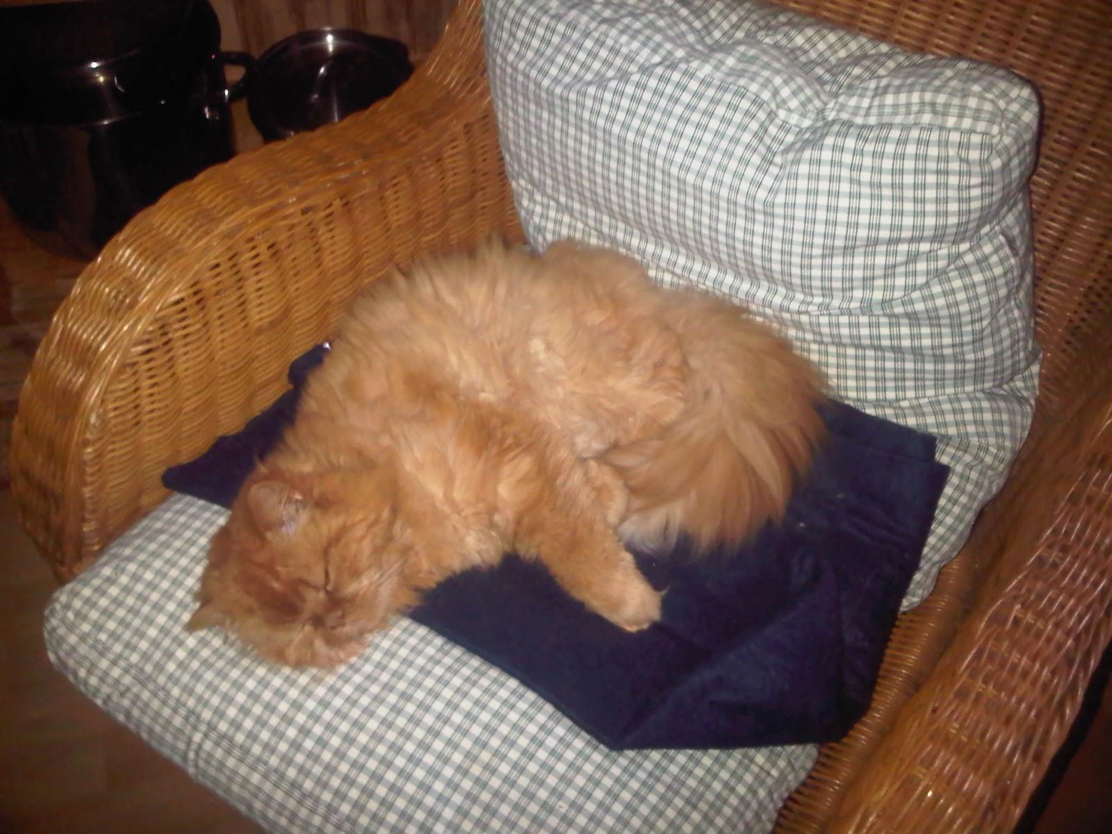 Schlafender Perserkater auf dem Rattan-Sessel, eingerollt auf kariertem Kissen.