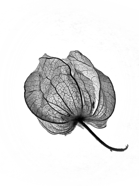 fotografia de physalis, physalis, physalis photo