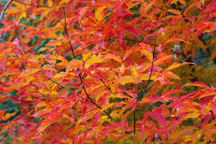 Acer triflorum Huntuvaahtera
