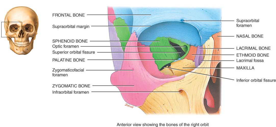 Awesome Definition Of Fissure In Anatomy Mold - Human Anatomy Images ...