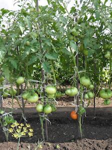Формирование куста помидоров. Удаление листьев.