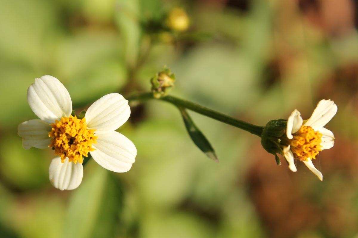 Life at dharwad little white flower little white flower mightylinksfo