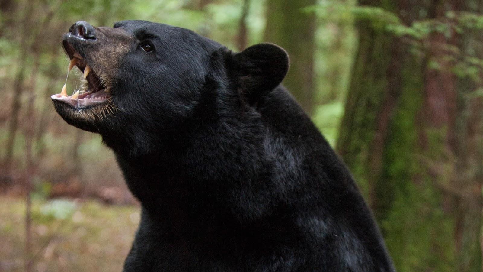En el bosque sobrevive (Backcountry) 2014 Black-bear-backcountry-movie_h